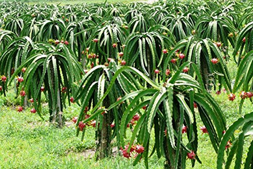 Dragon Fruit American Beauty Includes (4) Four Plants