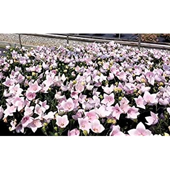 Amazon 50 pink balloon flower seeds platycodon grandiflorus 50 pink balloon flower seeds platycodon grandiflorus rose garden combsh d28 mightylinksfo