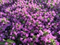 8000 seeds Creeping Thyme - Rock Cress Flower Herb Garden