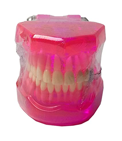 TJIRIS Clear Teeth Model Dental Fake Teeth for Teaching and Studying