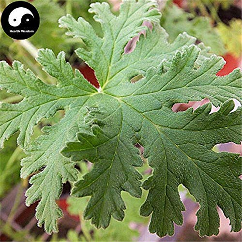 100pcs: Buy Pelargonium graveolens Seeds Plant herb Insect Repellent Grass by SVI (Image #3)