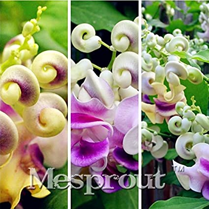 Amazon fresh snail flower vine flower seeds vigna fresh snail flower vine flower seeds vigna cochliasanthus caracalla seeds rare cork screw snail publicscrutiny Gallery