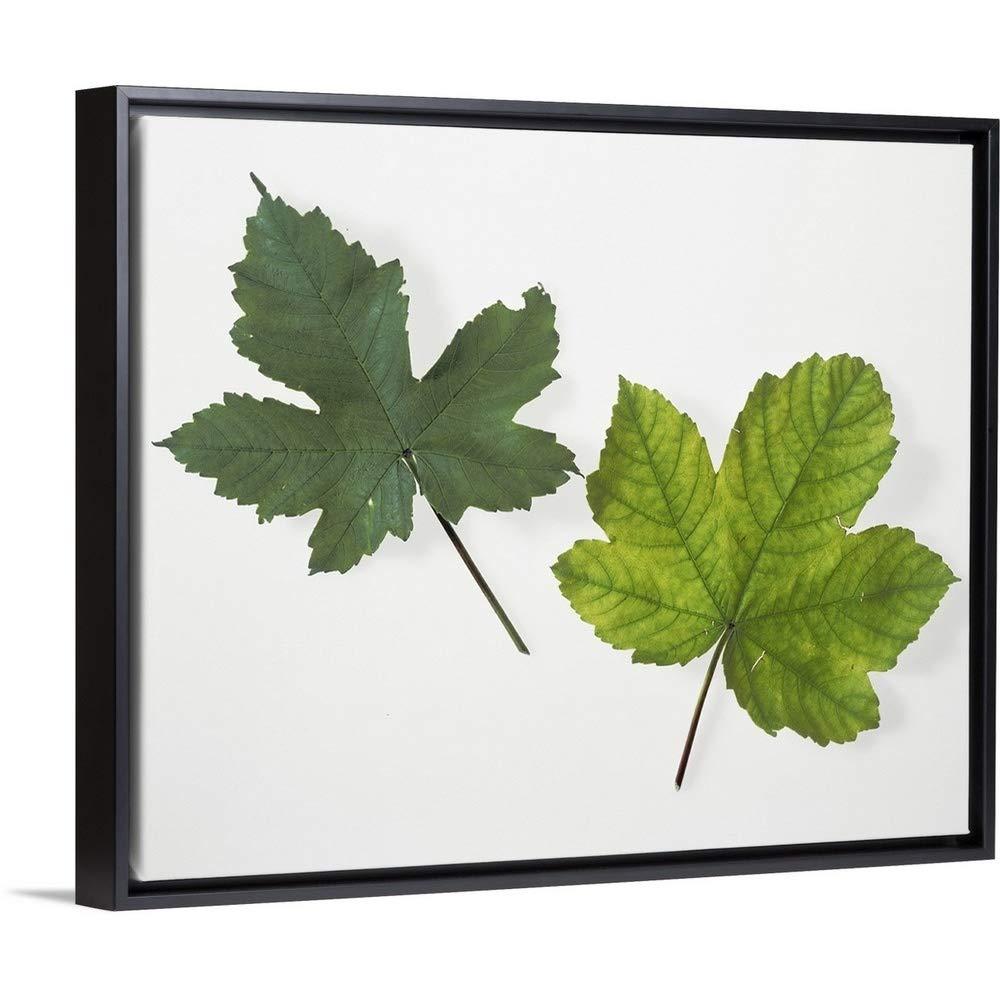 Leaf Chlorophyll Deficiency Black Floating Frame Canvas Art, 32''x26''x1.75''