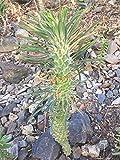 Monadenium - Euphorbia Clandestina