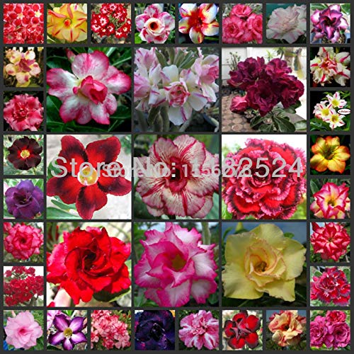 Go Garden 100% Fresh Real Adenium Obesum semillas Mix - Bonsai Desert Rose Flower Plant semillas sementes: ()
