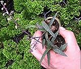"LEDEBOURIA SCILLA SOCIALIS - MINI- SILVER SQULL - 1 1/4"" SUCCULENT PLANT"