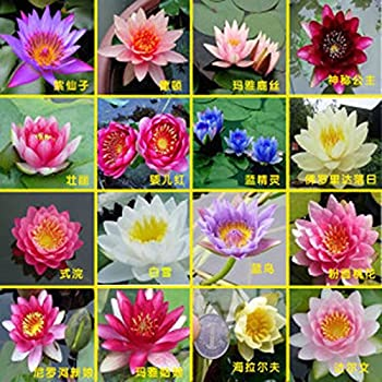 Amazon 10 red lotus sacred water lily lily pad asian hydroponic flowers small water lily seeds mini lotus seeds bonsai seeds set hydrophyte 30 pcs mightylinksfo
