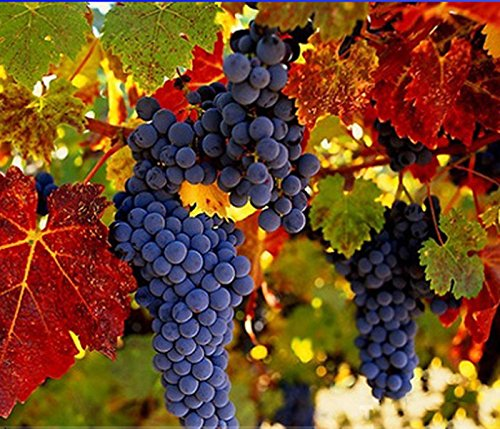Best Garden Seeds Rare French cabernet sauvignon grapes organic seeds bush, professional service pack, 15 seeds / pack, grapes E3085 tasty fruit wine ()