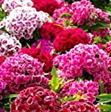 Dianthus barbatus TALL SWEET WILLIAM DOUBLE MIX✿1000 SEEDS✿Fragrant Flowers