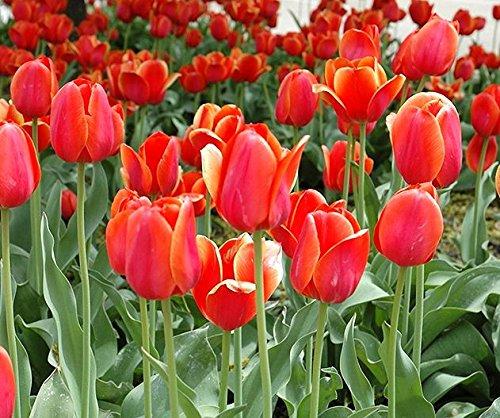 Tulipa Temple of Beauty - Tulip Temple of Beauty - 5 Bulbs -