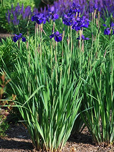 (Perennial Farm Marketplace Iris s. 'Caesar's Brother' ((Siberian) Perennial, Size-#1 Container, Deep Blue-Violet Flowers)