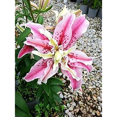 Magic Star Double Lilium Oriental Lily 5 Bulbs: Garden & Outdoor