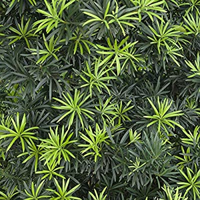 Live Shrubby Yew Pine aka Podocarpus macrophyllus 'Maki' Plant Fit 1 Gallon Pot : Garden & Outdoor
