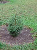 """4 Norway Spruce (Picea abies) 12-18"""""""
