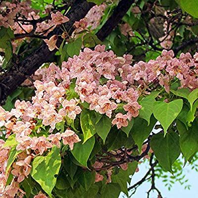 20 pcs Beautiful Catalpa Tree Seeds Easy to Grow : Garden & Outdoor