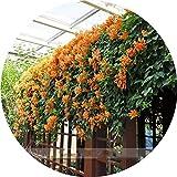 ADB Inc Rare Venusta Perennial Orange Pyrostegia Climbing Plant Seeds