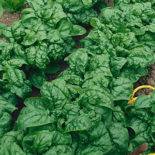 Ounce Seeds 1 Spinach (Everwilde Farms - 1 Oz Bloomsdale Spinach Seeds - Gold Vault)