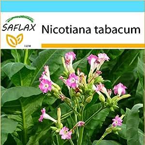 SAFLAX - Set regalo - Tabaco de Virginia - 250 semillas - Nicotiana tabacum