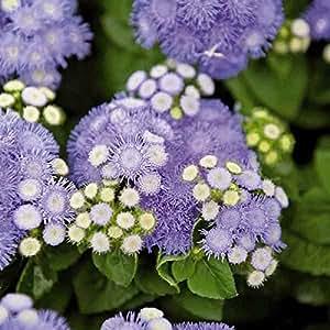 Ageratum Mix Flower Seeds (Ageratum Mexicanum Mix) 200+Seeds