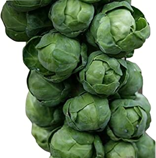Brussel Sprout Seeds Long Island (Brassica Oleracea) Healthy Garden Vegetable 600 Seeds