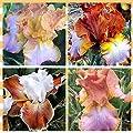 4 Tall Bearded Irises - Iris 4 Combo Pack - Tall Bearded Iris Rhizome Upc 656793276889 Pastel