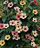 HEIRLOOM NON GMO Black-Eyed Susan Vine Mix 25 seeds