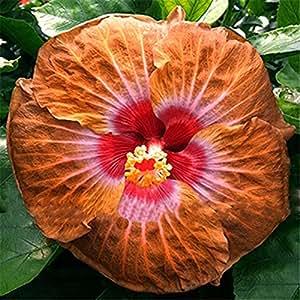 ¡¡¡En venta!!! semillas 200pcs Hibiscus 16kinds semillas de árboles Hibiscus rosa sinensis de flor de hibisco semillas para plantas de flor en maceta