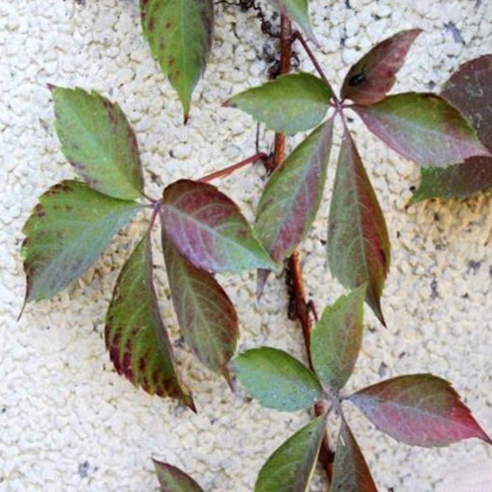 XIYAO Graine de Lierre Graine de Parthenocissus Arbuste grimpant Ornemental Mur de Maison 30 graines