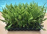 Thuja Green Giant Arborvitae Qty 20 Live Trees Evergreen Privacy