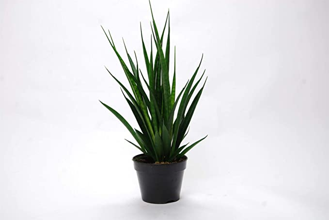 Bogenhanf 25-30 cm Sansevieria trifasciata Black Robusta 13//12er Kulturtopf Zimmerpflanze in Hydrokultur