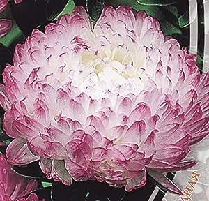 Aster semillas de flores de peonía Anel anual de Ucrania