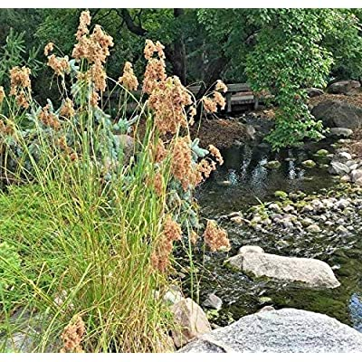 Cheap Fresh Seeds Wool Grass Seeds Native Marsh Wetlands Ponds Streams Garden/Patio Container Get 1000#CUB01YN : Garden & Outdoor