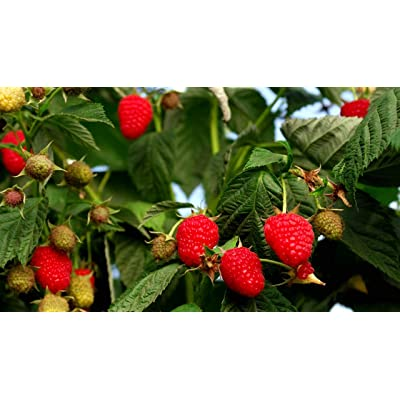 (1 Gallon) Raspberry Dorman Red- Excellent Flavor Best Raspberry for The South It is Heat, Drought, and Disease Resistant. : Garden & Outdoor