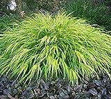 Aureola Japanese Forest Grass - Live Plant - Starter Plug (LG)