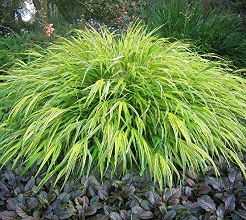 - Aureola Japanese Forest Grass - Live Plant - Starter Plug (LG)