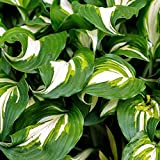 Hosta undulata Medio Variegata | White & Green Plantain Lily | Ships from Easy to Grow TM
