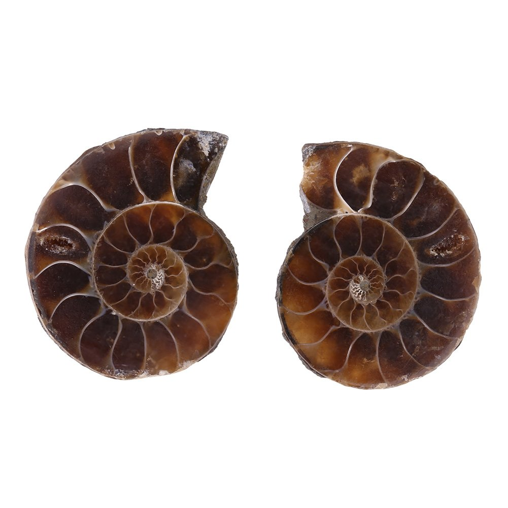 2Pcs Ammonite Shell Fossil Specimen Madagascar Natural Stones and Minerals for Basic Biological Science Education (5cm) Walfront