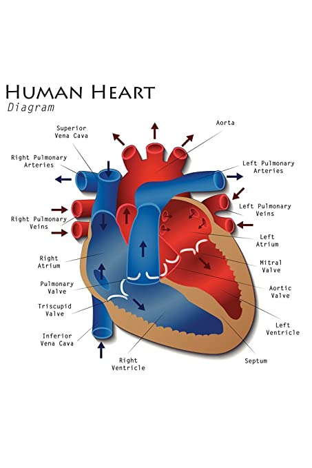 amazon com: human heart diagram anatomy diagram educational chart poster  12x18 inch: home & kitchen