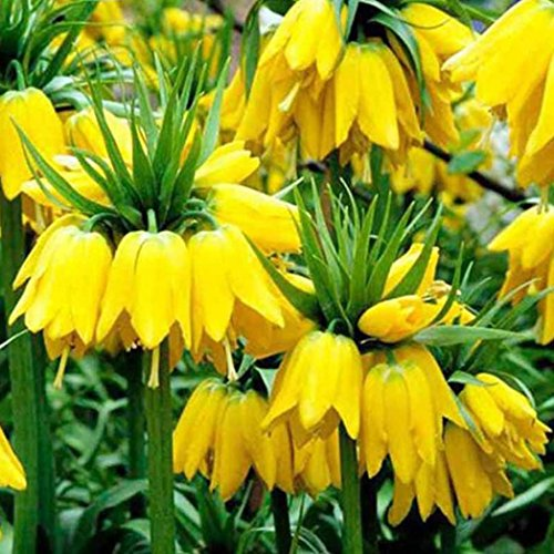 Finance Plan 100Pcs Yellow Imperial Crown Fritillaria Flower Plant Seeds Home Garden Decor