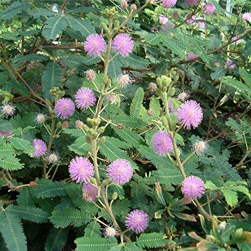Mimosa pudica, Fairy Sensitive Plant by Winter Greenhouse (Image #1)
