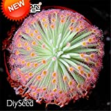New Arrival!Drosera Peltata Seeds, Balcony Potted Carnivorous Plants Bonsai Plant Disc Sundew Seeds 100 Pcs / Lot,#511NQG