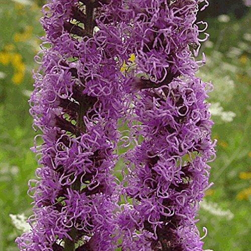 (300 Prairie Blazing Star Native Wildflower Seeds)