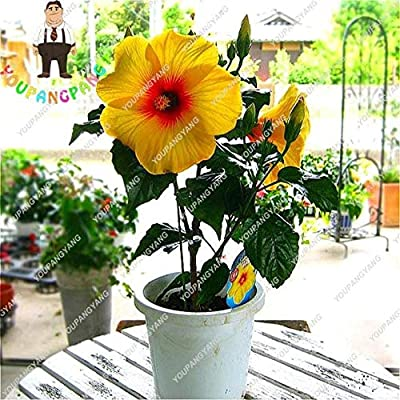 100pcs/bag Hibiscus Flower Bonsai Giant Hibiscus Bonsai Bonsai Tree Perennial Flowers Plant for Home Garden Easy to
