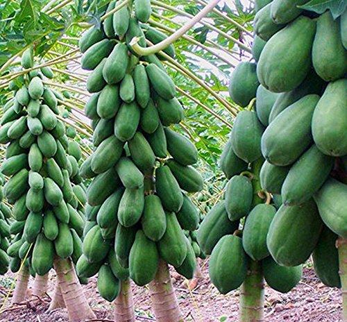 8pcs-home-garden-maradol-papaya-seeds-vegetable-fruit-tree-plants-seeds-outdoor