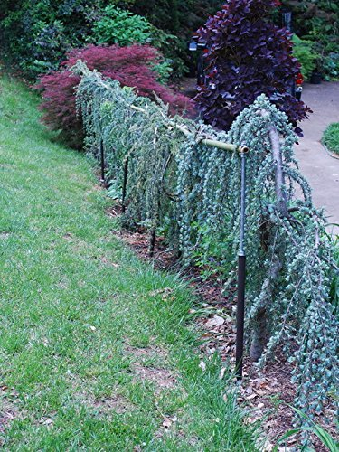 Weeping Blue Atlas Cedar 3 - Year Live Tree by Japanese Maples and Evergreens (Image #1)