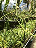 Andy`s Orchids - Rhipsalis (Cactus) grandiflora - Orchid Plant - Easy-Grower - Indigenous to Brazil