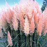 IDEA HIGH Cortaderia selloana Pink Feather - Pampas Grass 3 Plants in 9cm Pots