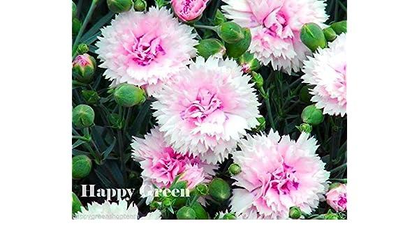 Dianthus plumarius 200 SEEDS SONATA DOUBLE MIX PERENNIAL FLOWER
