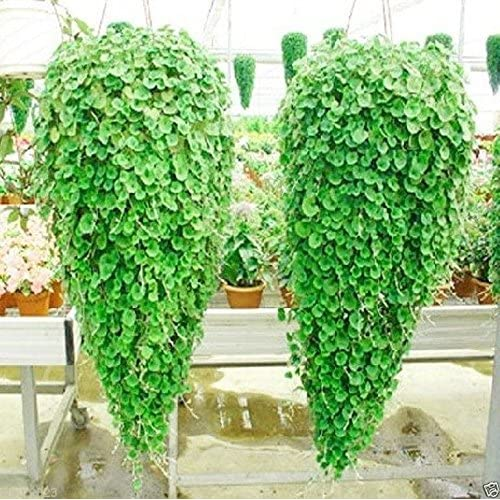 Cheap Dichondra ,Emerald Falls, 10 Seeds~ Hanging basket or dense,lush ground cover hot sale