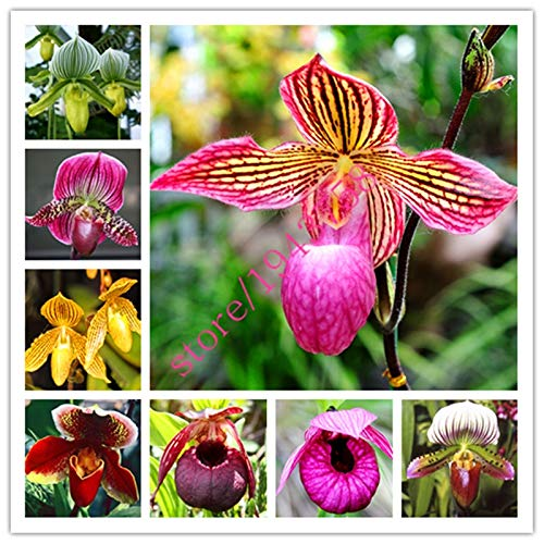 100 pcs Cypripedium Seeds, Balcony Seeds Patio Flowers Seeds paphiopedilum Slipper Orchid Seeds, Perennial, Plant for Mini Garden: Mix